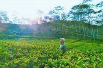 Kecantikan Kebun Teh Nglinggo Yang Menggugah Hati